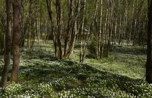 Hvitveisskogen