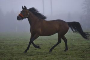 Hester i skumring 032